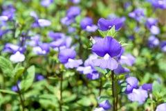 Wishbone flower Stock Image