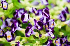Wishbone flower Stock Photos