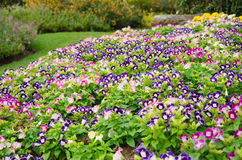 Wishbone kwiatu tło, Torenia fournieri Zdjęcia Stock