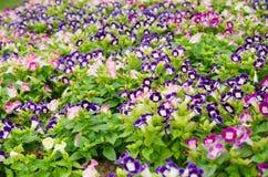 Wishbone kwiatu tło, Torenia fournieri Obraz Royalty Free