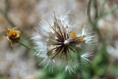 Wishes Gone. I find these old dandelions wishers are amazing to capture on film Royalty Free Stock Photos