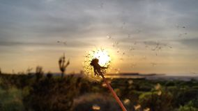 Wishful blow. Flower blown in the sunset by the Hirtshals beach on a verrry warm evening Stock Photography