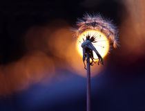 Wishful Sunset. A beautiful dandelion in front of the sun as it sets in the evening Stock Photography