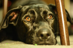 Wishful Thinking. My dog laying under a chair Royalty Free Stock Photography