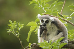 Wishful thinking. A ring-tailed lemur primate seems to be doing some wishful thinking Stock Image