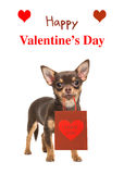 Wishing card happy valentine`s day with Chihuahua dog holding ba. Pretty brown chihuahua dog standing and facing the camera isolated on a white background Royalty Free Stock Photo