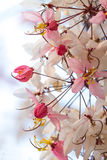 Wishing Tree, Pink Showe, Cassia Bakeriana Craib Royalty Free Stock Images