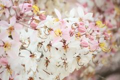 Wishing Tree, Pink Showe, Cassia Bakeriana Craib Royalty Free Stock Photo