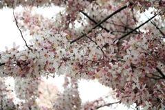 Wishing Tree, Pink Showe, Cassia Bakeriana Craib Royalty Free Stock Photos