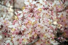 Wishing Tree, Pink Showe, Cassia Bakeriana Craib Stock Images