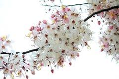 Wishing Tree, Pink Showe, Cassia Bakeriana Craib Stock Images