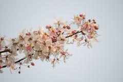Wishing Tree, Pink Showe, Cassia Bakeriana Craib Stock Image