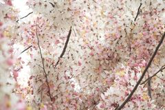 Wishing Tree, Pink Showe, Cassia Bakeriana Craib Royalty Free Stock Photography