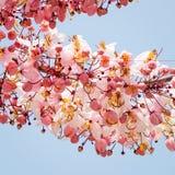Wishing Tree, Pink Showe, Cassia Bakeriana Craib Royalty Free Stock Photo