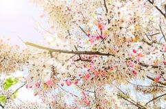 Wishing Tree, Pink Showe, Cassia Bakeriana Craib. Stock Images