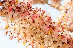 Wishing Tree, Pink Showe, Cassia Bakeriana Craib Stock Image