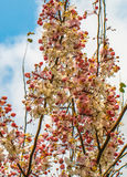 Wishing tree, pink shower, cassia bakeriana craib flower Royalty Free Stock Photo