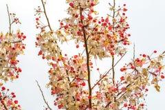 Wishing tree, pink shower, cassia bakeriana craib flower. The Wishing tree, pink shower, cassia bakeriana craib flower Royalty Free Stock Photos