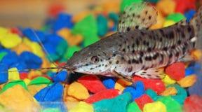 鱼wisker 免版税库存照片