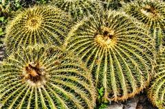 Wislizenii de Ferocactus de cactus de baril Images libres de droits
