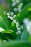 Wisp of lily of valley. Among his congeners Royalty Free Stock Images