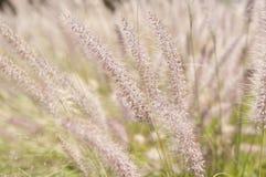 Wispy пшеница Стоковые Фотографии RF