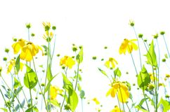 Abstract yellow coneflowers against white sky copyspace. Wispy, breezy, carefree, clean; transparent bright yellow flowers, green leaves and stems; copyspace Stock Photo