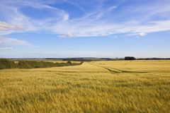 Wispy clouds over ripening cereal crops Stock Photography