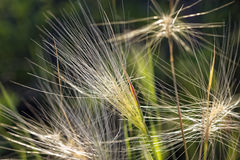 Wispy Growth. In a field in Minnesota Royalty Free Stock Image
