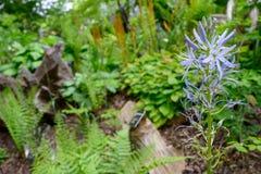 Wispy purpura kwitnie na wycieczkuje śladzie na wiosna ranku obraz royalty free