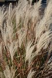 Wispy straw-colored weeds Royalty Free Stock Image
