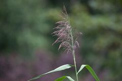 Wispy Tall Grass. With a lush green background Royalty Free Stock Photo