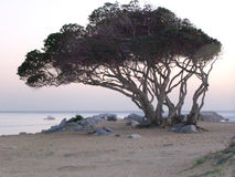 Wispy Tree Royalty Free Stock Photo