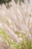 Wispy Wheat Stock Photography