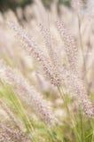 Wispy Wheat Stock Photography