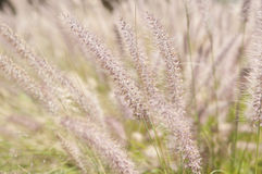 Wispy Wheat Royalty Free Stock Photos