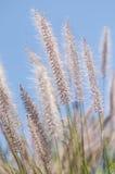 Wispy Wheat Royalty Free Stock Image