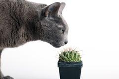 Wissbegierige Katze, die einen stacheligen Kaktus prüft Lizenzfreies Stockfoto