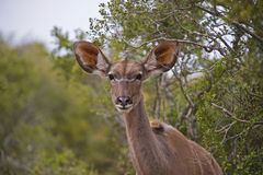 Wissbegierige Kudu Kuh Stockbilder