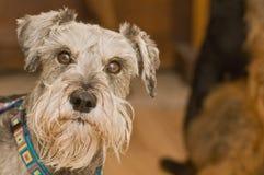 Wissbegieriger Minischnauzerhund stockfotos
