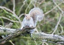 Wissbegieriges graues Eichhörnchen lizenzfreie stockfotografie