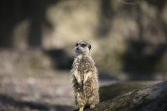 Wissbegieriges meerkat Lizenzfreies Stockfoto