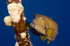 Wisselmarkt van Bluetail trunkfish. (oastracioncyanurus) Royalty-vrije Stock Afbeelding