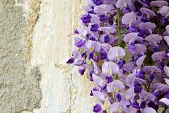 Wistaria bij de muur Stock Foto's