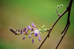 Wistaria bloosom in spring. Purple wistaria flowers booming in spring royalty free stock image