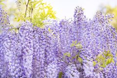 Wistaria de florescência bonito Fotografia de Stock