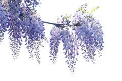 Wistaria flower stock image