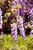 Wistaria Flower Stock Images