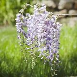 Wistaria Flower Stock Photo