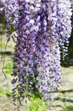 Wistaria Flower Royalty Free Stock Photo